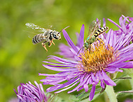 A Halictus Sweat Bee (Halictus poeyi) prepares to land on an Aster next to a Metallic Green Bee (Agapostemon splendens), South Carolina.