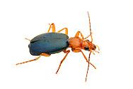 Bombardier Beetle (Brachinus sp.)<br /> TEXAS: Travis Co.<br />Barton Creek Preserve; Bee Caves<br />22.May.2012<br /> J.C. Abbott #2593 &amp; K.K. Abbott