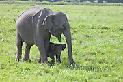 The Indian elephant (Elephas maximus indicus) is one of three recognized subspecies of the Asian elephant and native to mainland Asia. Listed as Endangered by IUCN, the population has declined by at least 50% over the last 60 to 75 years or three generations. <br />