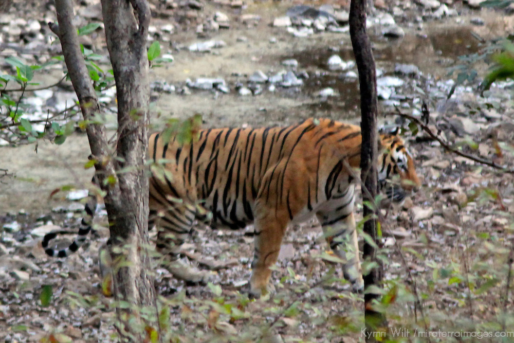 Asia, India, Ranthambore. Royal Bengal Tiger at Ranthambore National Park.