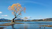 A brilliant golden tree shines along the shore of Lake Wanaka, New Zealand.
