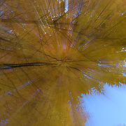 Looking up at yellow leaves that still fill the branches on a tree during Autumn.  The streaks of light are created by zooming the lens while the shutter is open.
