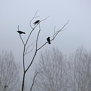 Three American crows (Corvus brachyrhynchos) rest in a bare winter tree as fog rolls in over North Creek in Bothell, Washington. An estimated 10,000 crows roost each night in the area.