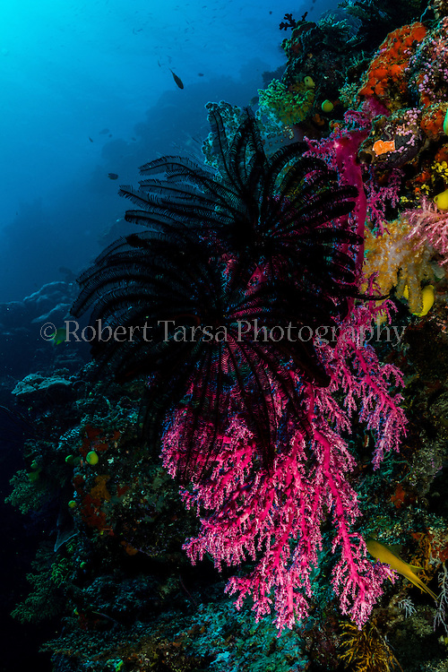 Boschma's feather star attached to hanging coral.