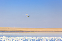 March 22, 2015 - Tyrell Lake was temporarily home to many thousands of Snow Geese during the annual spring Snow Goose migration. The Geese were on their way through Alberta to the nesting grounds on the Arctic tundra.<br /> <br /> &copy;2015, Sean Phillips<br /> http://www.RiverwoodPhotography.com