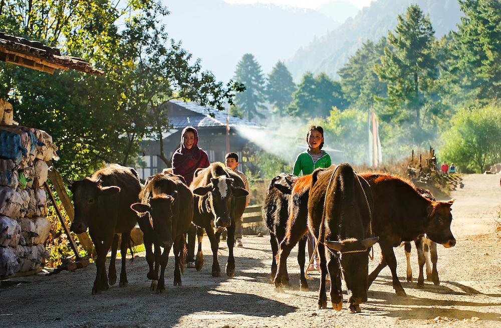 Children herd cattle in Bumthang, Bhutan.
