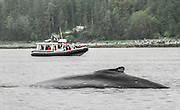 A tourboat watches a surfacing humpback whale