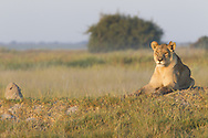 Female African lion (Panthera leo) resting in afternoon sun, Duba Plains, Botswana