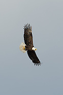 Bald Eagles of Cato NY