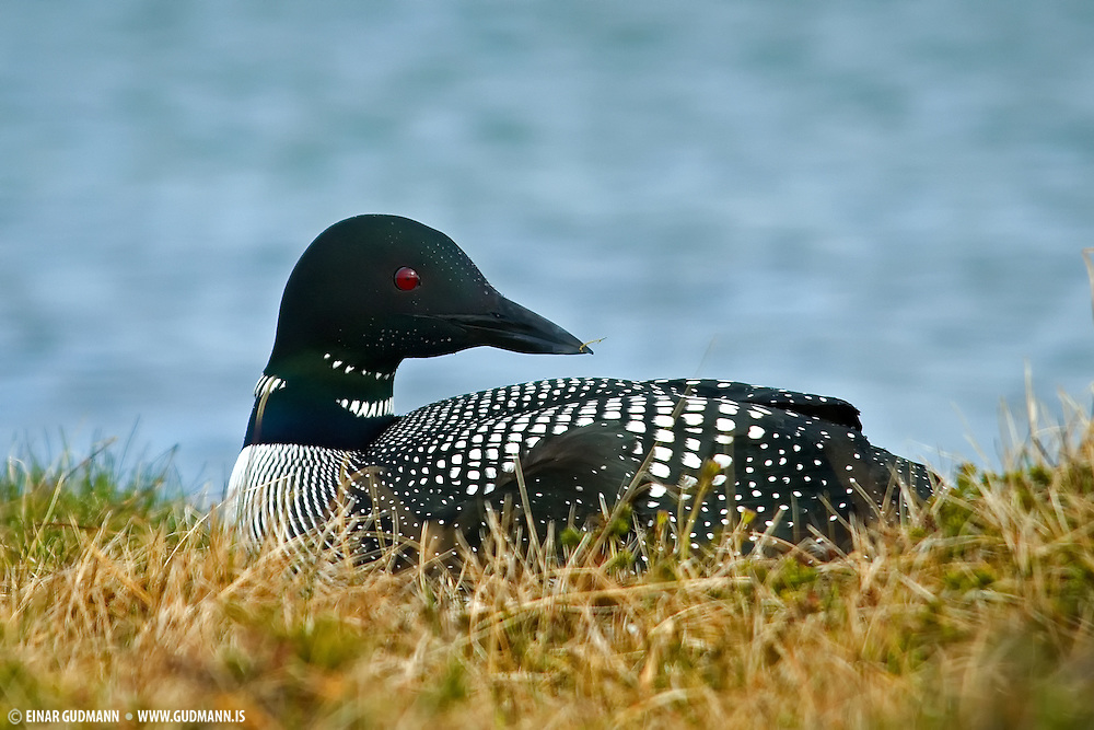 The Great Northern Loon is one of the five loon species that make up the genus Gavia, the only genus of the family Gavidae and order Gaviiformes. These photos are taken of a nesting Loon in the northern part of Iceland.