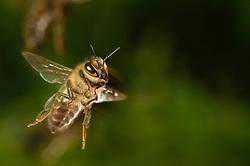 Honey bee (Apis mellifera), Kiel, Germany | Die Honigbiene (Apis mellifera) auf ihrem Sammelflug. Duchschnittlich eine halbe Stunde ist sie unterwegs, bevor sie wieder im Bienenstock verschwindet.  Kiel, Deutschland