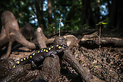 Spotted Salamander (Ambystoma maculatum)<br /> CAPTIVE<br /> The Orianne Indigo Snake Preserve<br /> Telfair County. Georgia<br /> USA<br /> HABITAT &amp; RANGE: Hardwood &amp;  mixed deciduous forests. Usually beneath ground level but pond nearby needed for laying eggs. Eastern United States.