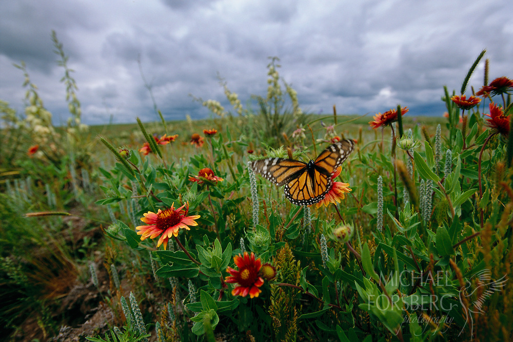 South-central Nebraska In a flush of color, a monarch butterfly dances among new summer blooms, drinking the sweet nectar of Indian blanket flower on a prairie pasture near Red Cloud, Nebraska. Red Cloud was home of Plains novelist, Willa Cather, who was greatly influenced in her writings by the shaggy grass country along the Kansas-Nebraska border, and no doubt was inspired by such details in the prairie. Monarch butterflies thrive throughout much of the Great Plains and migrate to Mexico to winter. Similarly, Indian blanket flower extends through the southern Plains and into Mexico. Legend says that Indian blanket flowers were once a vibrant gold and a favorite of the Aztec people. When Cortez came and the Aztec civilization crumbled, the flowers were said to have caught the blood in pity for the innocent inhabitants that perished. Thus the reason the red stains remain on the flower today. It has also been said that some Mexicans believe certain butterflies that dance around the Indian blanket flower in bloom represents the spirit of the Aztecs and their unending gratitude for their favorite flower.
