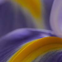 Next To Me - Abstract flower photography art of a purple Iris from my flower photography collection.<br /> <br /> Iris is a genus of 260 to 300 species of flowering plants with showy flowers. It takes its name from the Greek word for a rainbow, referring to the wide variety of flower colors found among the many species. As well as being the scientific name, iris is also very widely used as a common name for all Iris species, though some plants called thus belong to other closely related genera. A common name for some species is 'flags', while the plants of the subgenus Scorpiris are widely known as 'junos', particularly in horticulture. It is a popular garden flower.<br /> <br /> Abstract flower photography images of this White Tiger Lily Abstraction are available as museum quality photography prints, canvas prints, acrylic prints or metal prints. Prints may be framed and matted to the individual liking and decorating needs:<br /> <br /> http://juergen-roth.artistwebsites.com/featured/what-a-wonderful-world-juergen-roth.html<br /> <br /> Good light and happy photo making!<br /> <br /> My best,<br /> <br /> Juergen<br /> Image Licensing: http://www.RothGalleries.com<br /> Fine Art Prints: http://juergen-roth.pixels.com<br /> Photo Blog: http://whereintheworldisjuergen.blogspot.com<br /> Twitter: https://twitter.com/naturefineart<br /> Facebook: https://www.facebook.com/naturefineart<br /> Instagram: https://www.instagram.com/rothgalleries