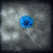 Single cornflower blossom against a texturized background