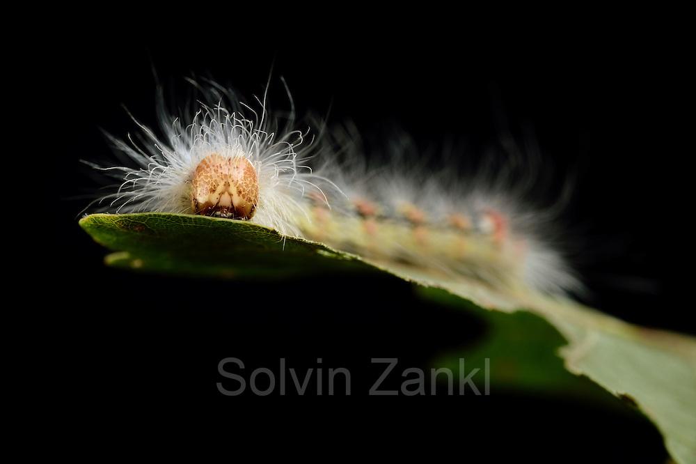 Die Raupe der Seladoneule (Moma alpium) gehört zu den Noctuidae (Eulenfalter).  Sie frißt bevorzugt von Juni bis September an den Blättern von Stieleiche (Quercus robur).