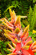 "A hybrid bromeliad of the genus Aechmea, 'Little Harv"" thrives in full sun at its Big Island location on the grounds of St.Benedict's Painted Church in Captain Cook."