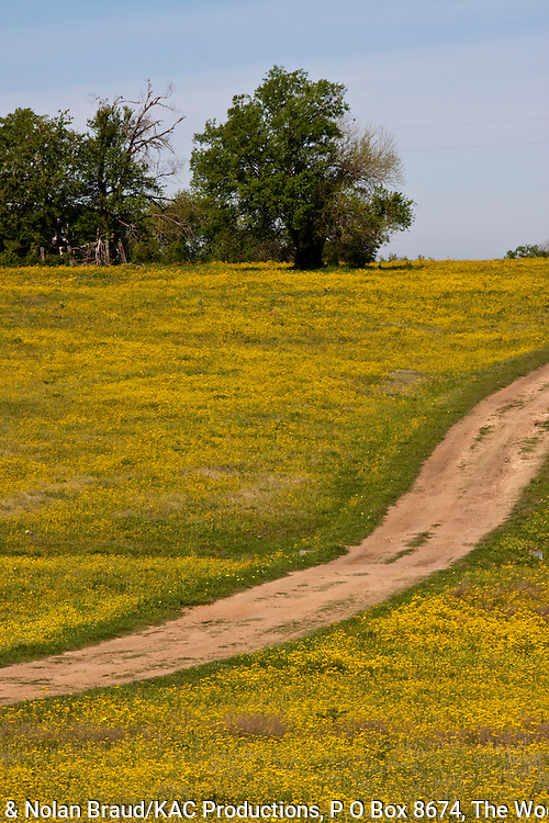 Dirt road through a field of yellow wildflowers blooming in spring on a ranch on farm-to-market road in rural Texas.