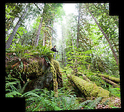 Liana Welty hikes through lush forest along Diobsud Creek Trail, Mount Baker-Snoqualmie National Forest, Washington.