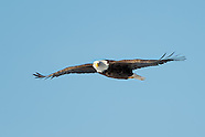 Bald Eagles of Onondaga Lake 2015