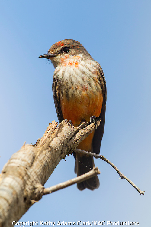 Vermilion flycatcher, Pyrocephalus rubinus, immature male, San Jose Ranch, near Laredo, Texas.