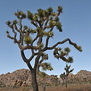 Joshua Tree, Joshua Tree National Park
