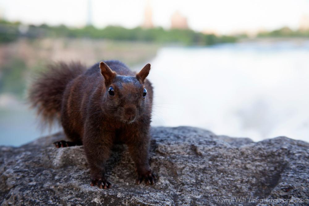 Canada, Ontario, Niagara Falls. A melanistic eastern gray squirrel, dark brown.