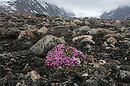 05: SVALBARD CRUISE FLOWERS & BIRDS