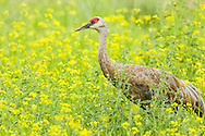 Sandhill Crane (Grus canadensis) foraging among yellow wildflowers at Creamer's Field Migratory Waterfowl Refuge in Fairbanks in Interior Alaska. Summer. Afternoon.