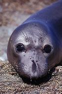northern elephant seal calf, Mirounga angustirostris, San Benito Islands, Baja California, Mexico, East Pacific Ocean&amp;#xA;&copy; KIKE CALVO - V&amp;Wnorthern elephant seal calf, Mirounga angustirostris, San Benito Islands, Baja California, Mexico, East Pacific Ocean&amp;#xA;&copy; KIKE CALVO - V&amp;W<br />