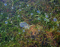 Is på vann med luftbobler og gress under, ice on a dam with air bubbles and gras under