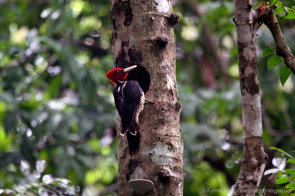 Central America, Costa Rica, Manuel Antonio. Pale Billed Woodpecker.