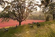 Sheep graze on Tony Soter's farm below the vineyards, Yamhill-Carlton AVA, Willamette Valley, Oregon