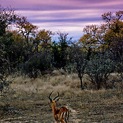 Impala walking into the sunset, Kruger National Park, South Africa