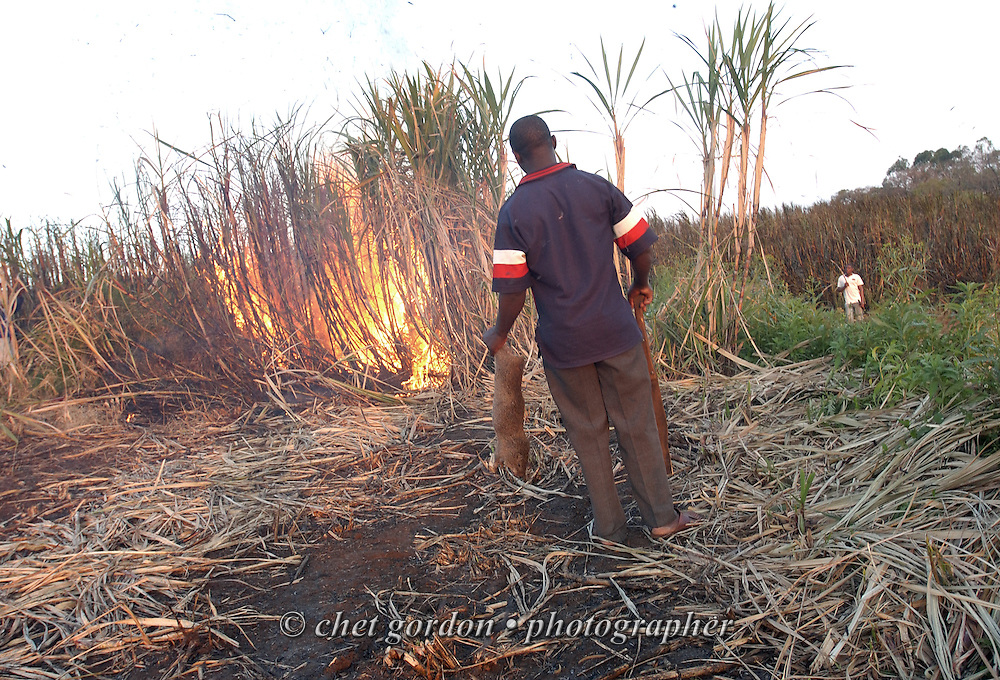 """EMPANGENI, SOUTH AFRICA.  A sugarcane cutter holds a dead cane rat during a """"burn"""" of underbrush in a sugarcane field in Empangeni, South Africa on Sunday evening, September 10, 2006.    © www.chetgordon.com"""