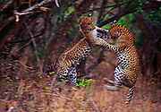 Leopard siblings play fighting at Yala National Park.