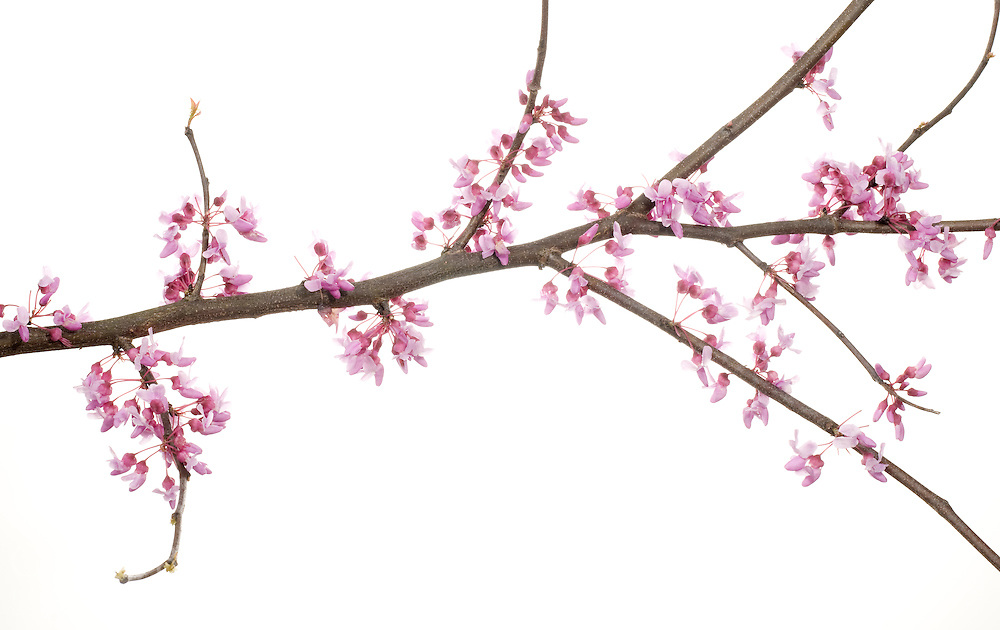 Eastern Red Bud (Cercis canadensis)