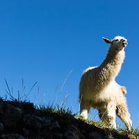 Peru, Morning sun lights Llama (Lama glama) standing on terraces amid Inca ruins at Machu Picchu