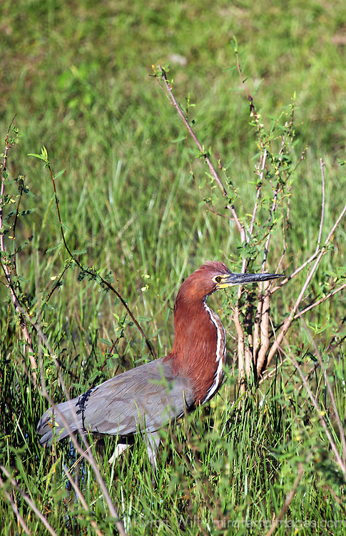 South America, Brazil, Pantanal. The Rufescent Tiger Heron in the Pantanal of Brazil.