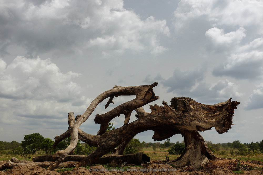 A fallen tree lies on the edge of a millet field near the village of Lyssah in the Upper West region of Ghana.