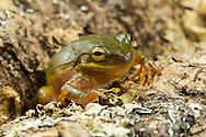 Squirrel Treefrog (Hyla squirella)<br /> ALABAMA: Tuscaloosa Co.<br /> Tulip Tree Springs off Echola Rd.; Elrod<br /> 30-April-2016<br /> J.C. Abbott #2806 &amp; K.K. Abbott