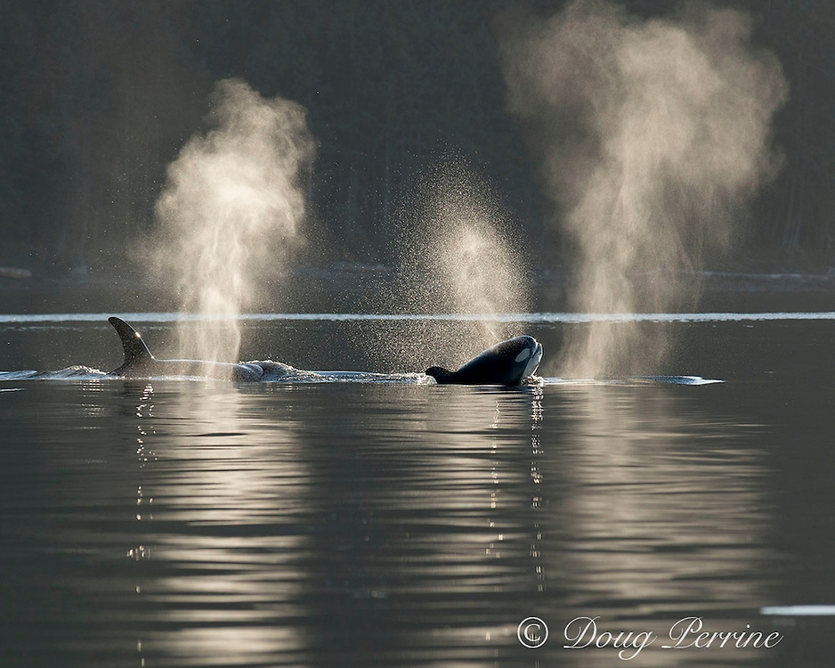 transient orcas or killer whales, Orcinus orca, spouting, or exhaling, at surface, San Juan Islands, Washington, United States