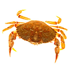 Rock Crab, Cancer irroratus, found in the Atlantic Ocean in Rye, New Hampshire.