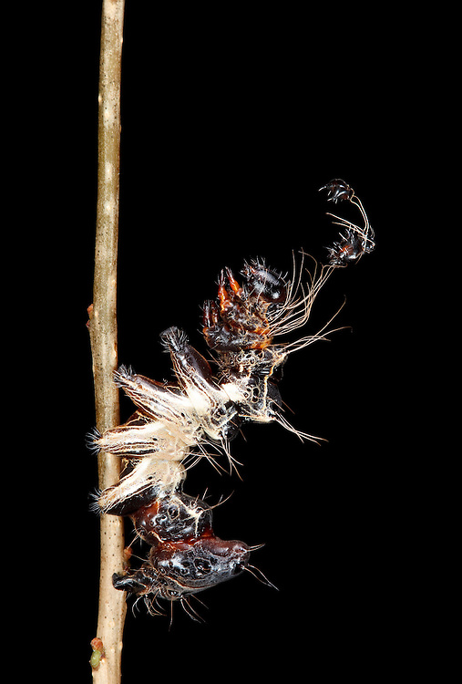 The Harris's Three Spot caterpillar is one of the very weirdest.  From behind it resembles an alert jumping spider, from the side, a piece of detritus or a bird dropping, and in front in wears its old discarded head capsules as a hat and uses them to swipe at any attacking would-be predator.