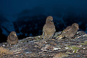 Kea, early winter dawn in Fiordland, New Zealand