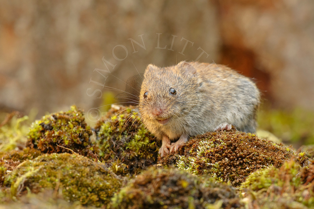 Bank Vole (Clethrionomys glareolus) adult on moss covered ground, South Norfolk, UK. July.