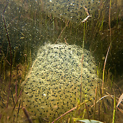 An oregon spotted frog (Rana pretiosa) egg mass just below the surface of Conboy Lake. Conboy Lake National Wildlife Refuge, Washington.