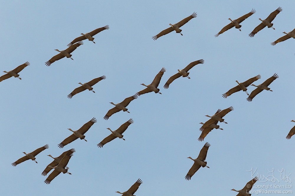 A large flock of sandhill cranes (Grus canadensis) fly over the Columbia National Wildlife Refuge near Othello, Washington.