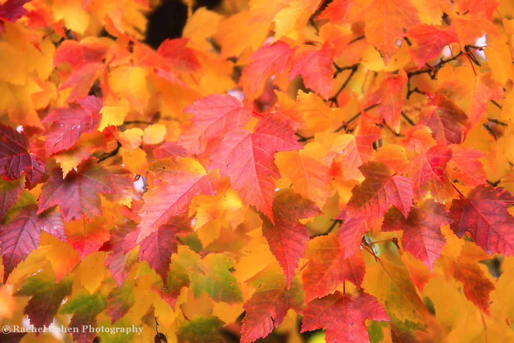 &quot;Those Autumn Leaves&quot; 2<br /> <br /> Beautiful maple leaves on a tree branch in all hues of red, yellow, orange and green!!<br /> <br /> Fall Foliage by Rachel Cohen