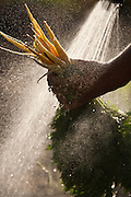 Organic farmer, Dave Bell spraying dirt from the year's first carrots at his farm in Draper, Utah.